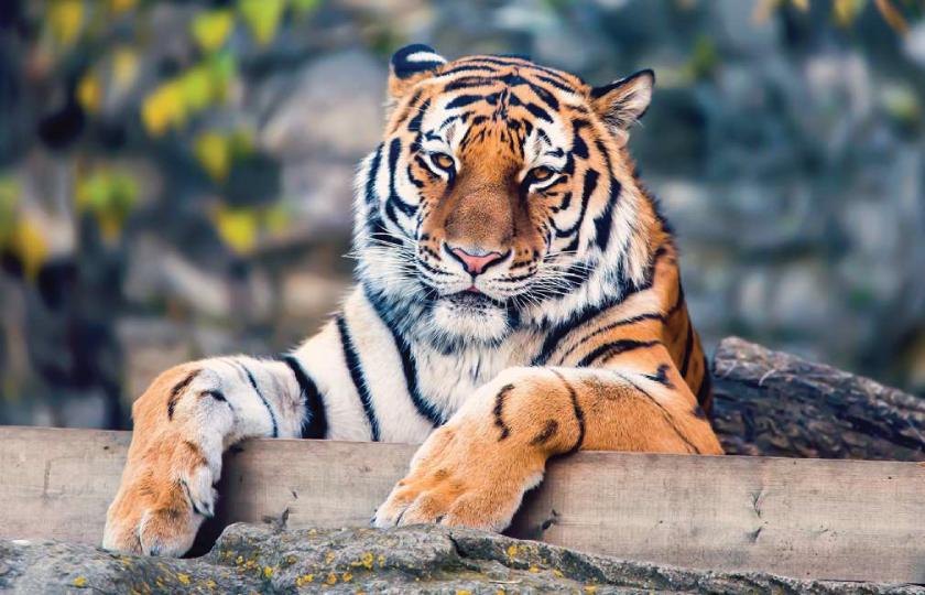 bliv_dus_med_en_tiger