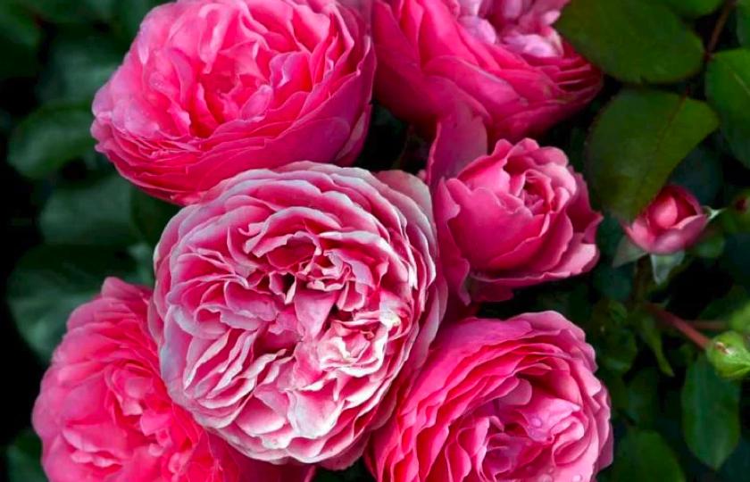 lyseroede rosenbuske